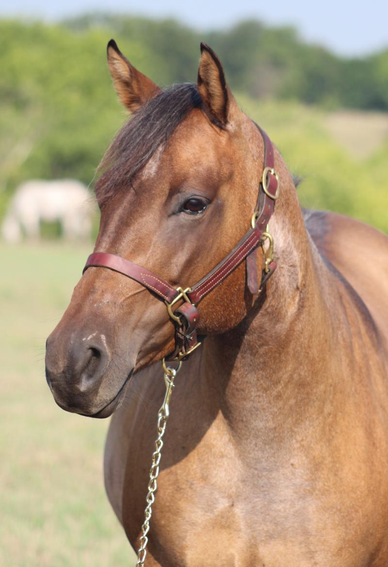 Popular Valentine AQHA Mare by Popular Resortfigure
